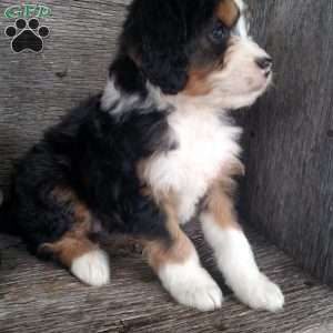 a Mini Bernedoodle puppy named Zoe