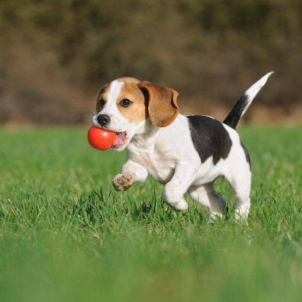 activities perfect for puppies - beagle puppy running across yard with a ball