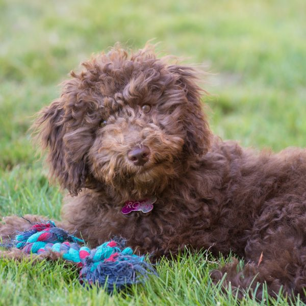 brown mini goldendoodle puppy lying on grass with a toy
