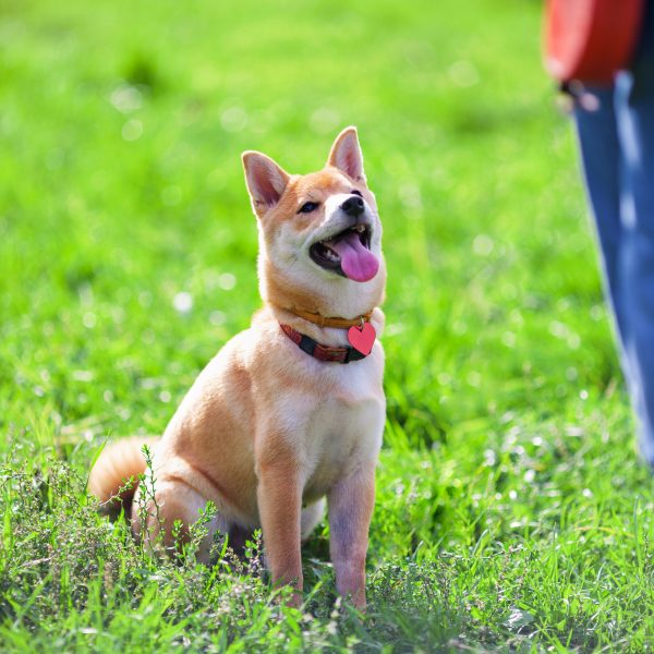commands every dog should know - shiba inu sitting for owner