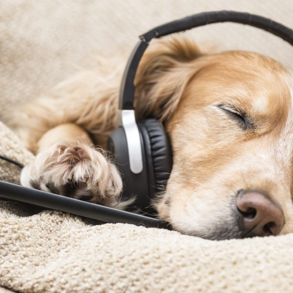 dog songs - sleeping dog with headphones