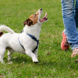 dog training tips - jack russel terrier running next to owner