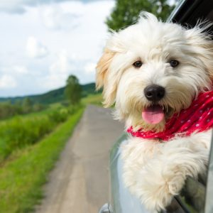 florida dog-friendly travel guide - bichon frise with red scarf in a car