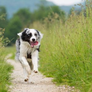 prepare your dog for tick season - dog running through long grass