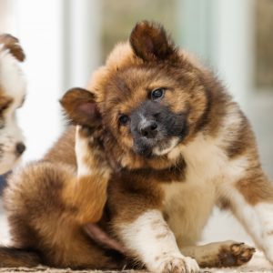 signs your dog might have fleas - small puppy scratching ear