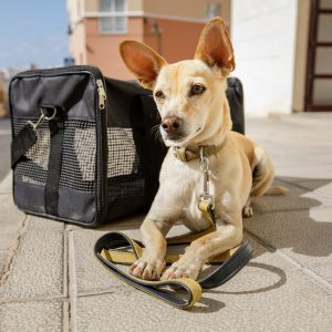 tips for flying with a dog - chihuahua mix lying next to transport carrier