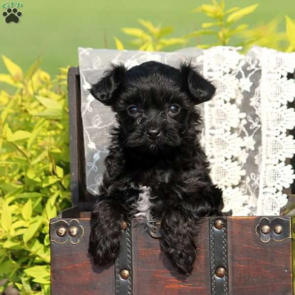 Andy, Yorkie-Poo Puppy