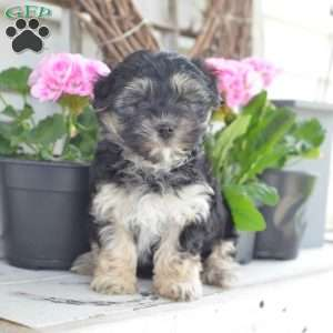 a Morkie / Yorktese puppy named Bear