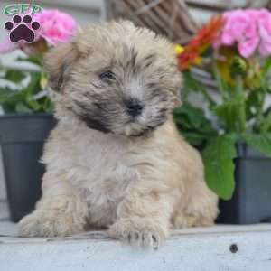 a Morkie / Yorktese puppy named Benji