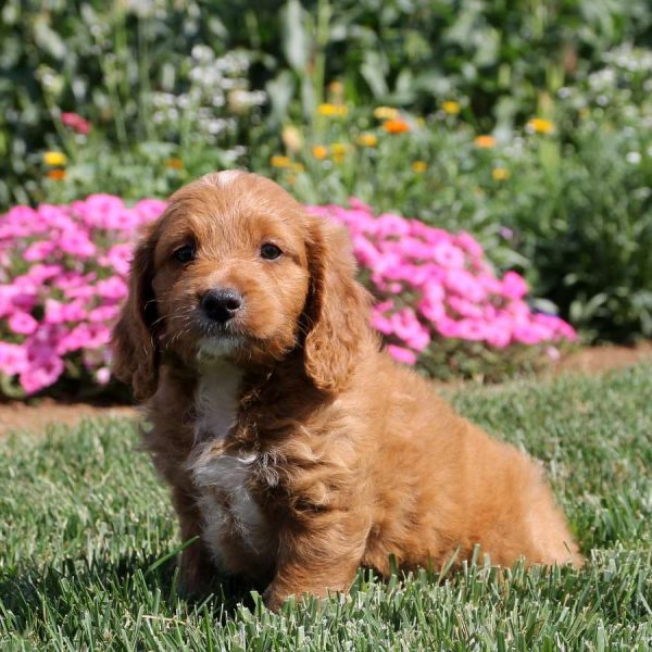 Brittany Spaniel Mix Puppies For