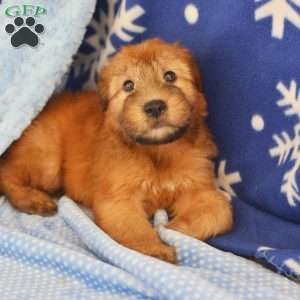a Soft Coated Wheaten Terrier puppy named Carl
