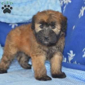 a Soft Coated Wheaten Terrier puppy named Connie