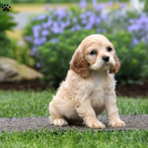 Courtney, Cocker Spaniel Puppy