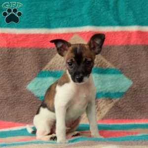 Fox Terrier Mix Puppies For Sale | Greenfield Puppies