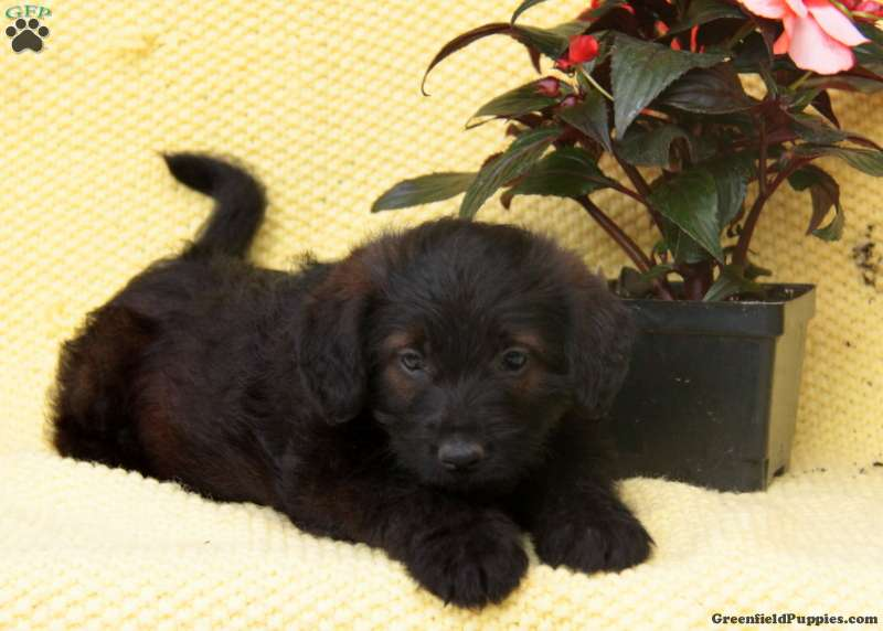 Eliza Miniature Poodle Mix Puppy For Sale In Pennsylvania