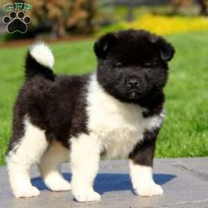 Image result for akita puppy