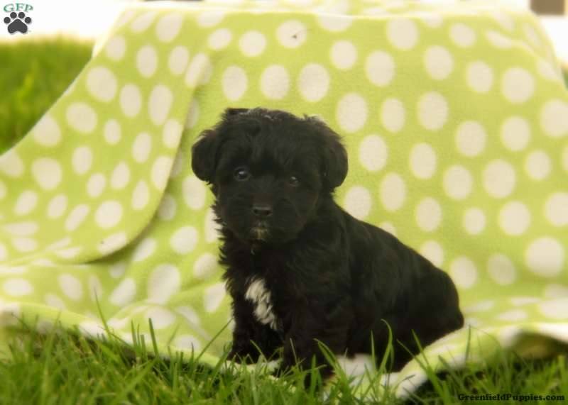 Koko Yorkie Poo Puppy For Sale In Pennsylvania