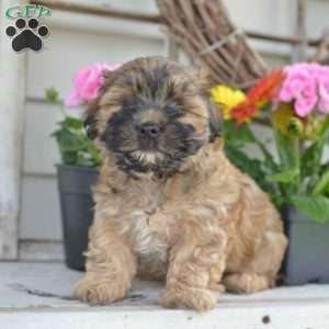 a Morkie / Yorktese puppy named Max