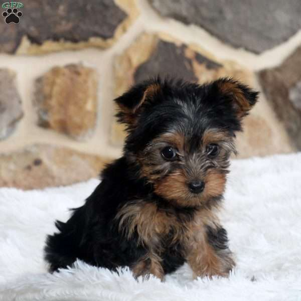 Megan, Yorkshire Terrier Puppy