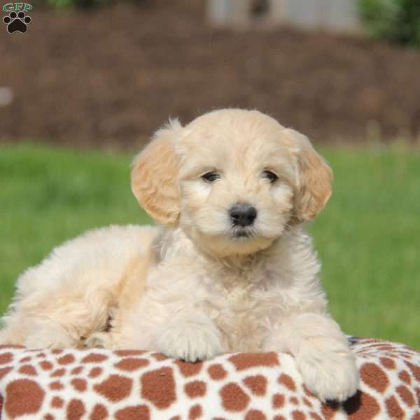Odelle, Mini Goldendoodle Puppy