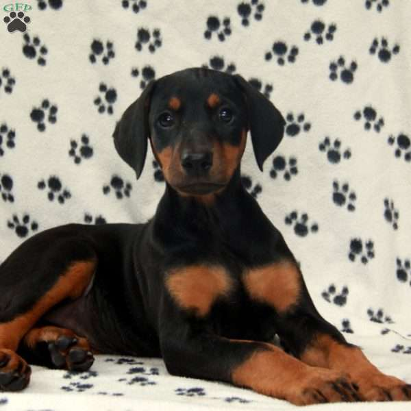 Trudy, Doberman Pinscher Puppy