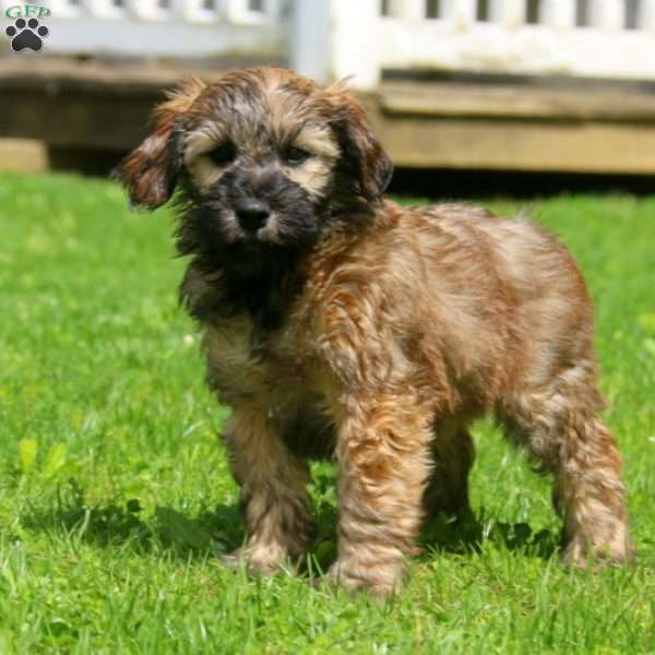 Soft Coated Wheaten Terrier Mix Puppy
