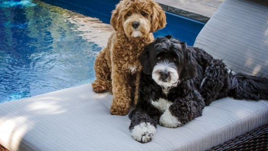 5 Things to Know About Bernedoodle Puppies