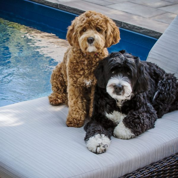 5 Things To Know About Bernedoodle Puppies Greenfield Puppies