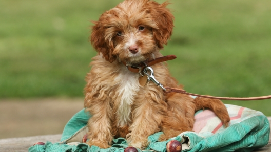 5 Things to Know About Cavapoo Puppies