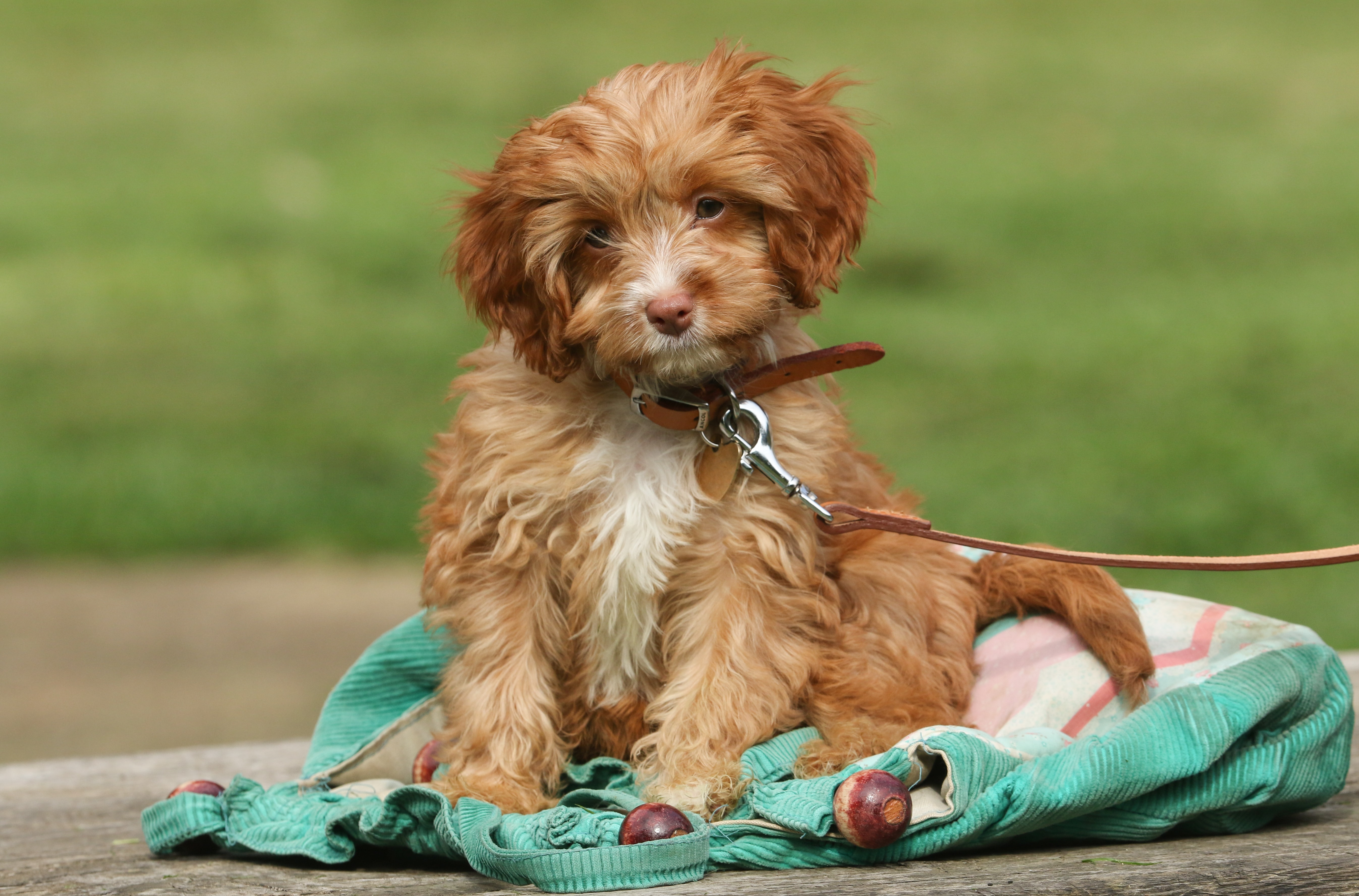 5 Things To Know About Cavapoo Puppies Greenfield Puppies