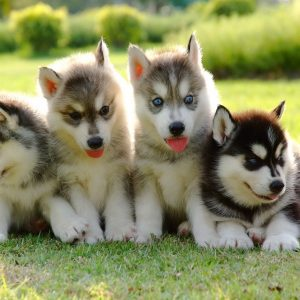 four siberian husky puppies in a yard
