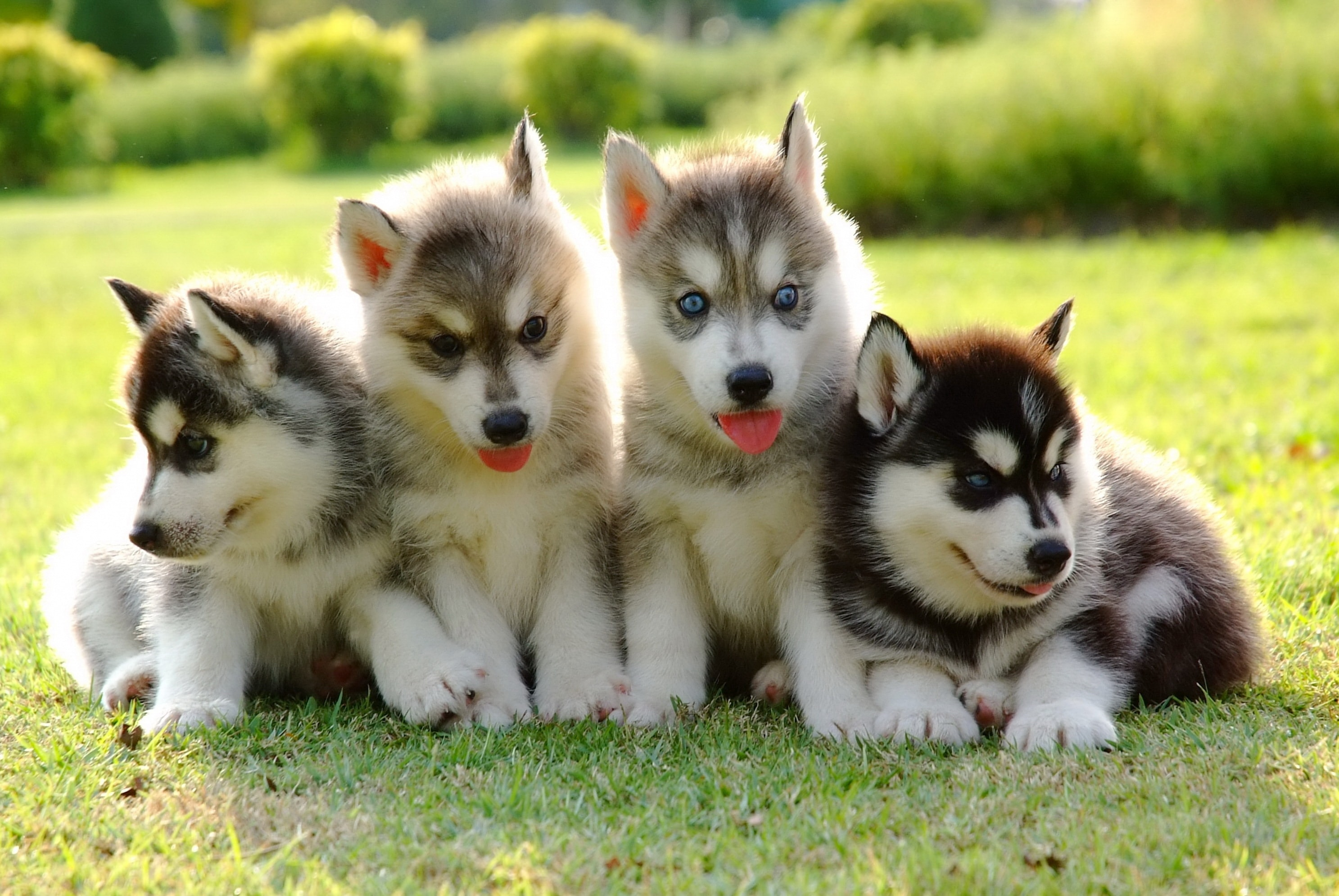 4 Things to Know About Siberian Husky Puppies | Greenfield ...