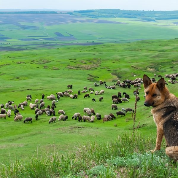 german shepherd guarding a flock of sheep