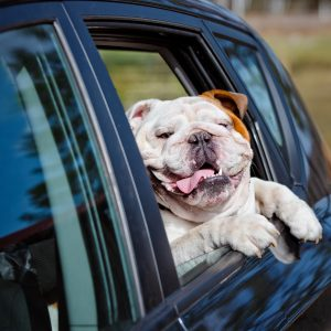 massachusetts dog-friendly travel guide - english bulldog in a car