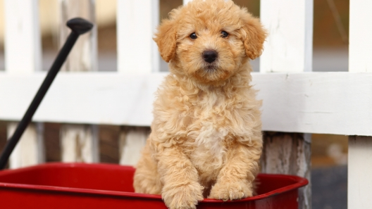 Miniature Poodle Mix