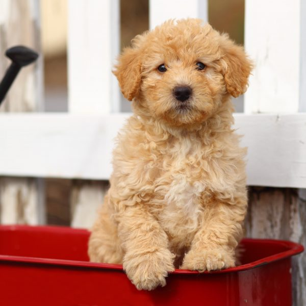 poodle mix puppy in a red wagon in front of a white fence
