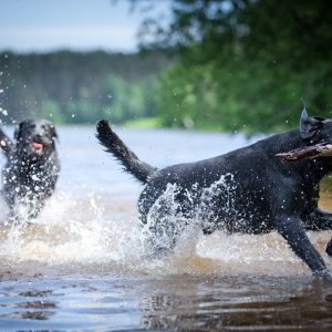 two labrador retrievers playing in water