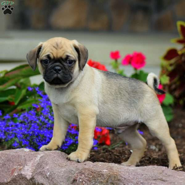 Hashbrown, Puggle Puppy