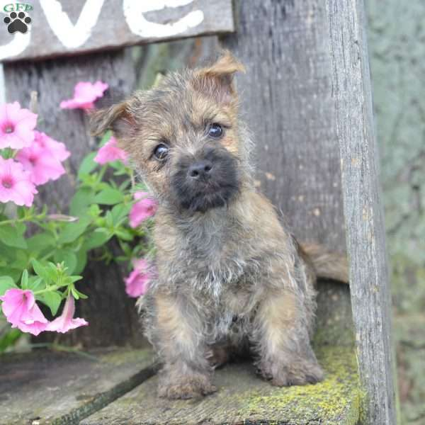 Jason - Cairn Terrier Puppy For Sale in Ohio