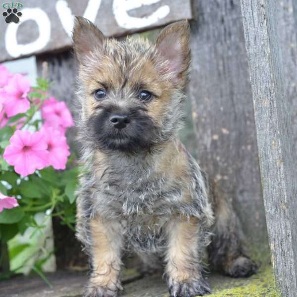 Jasper - Cairn Terrier Puppy For Sale in Ohio