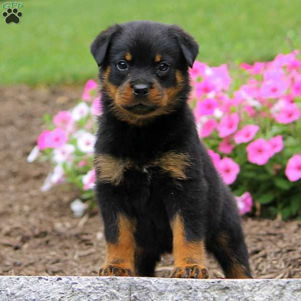 Mikayla Rottweiler Puppy For Sale In Pennsylvania Ttcricketboard