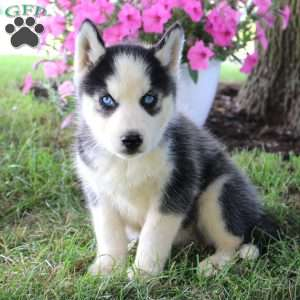 siberian husky mix puppies for sale greenfield puppies