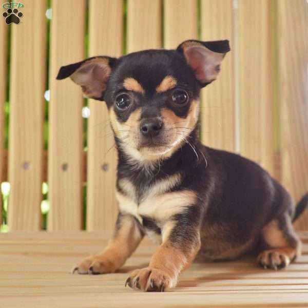 Oliver Chihuahua Puppy For Sale In Ohio