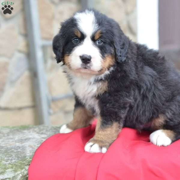 Rover Bernese Mountain Dog Puppy For Sale In Ohio