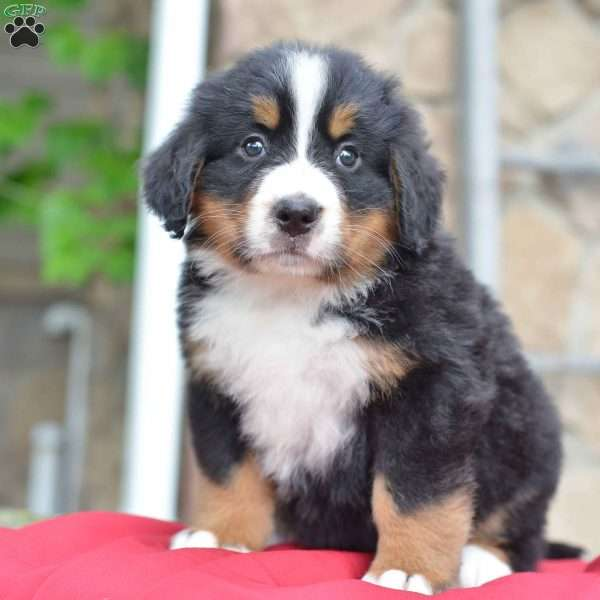 Tricia Bernese Mountain Dog Puppy For Sale In Ohio
