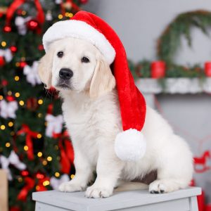 golden retriever puppy in a santa hat in front of a christmas tree