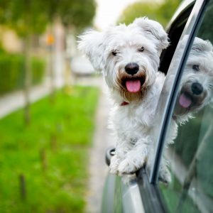 virginia dog-friendly travel guide - maltese looking out car window