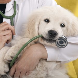 golden retriever puppy in the vet's arms with stethoscope in its mouth
