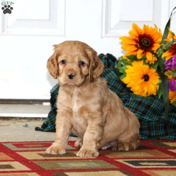 Caden, Cocker Spaniel Puppy
