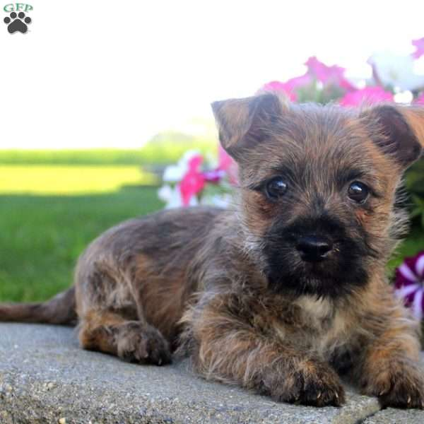 Chocolate - Cairn Terrier Puppy For Sale in Pennsylvania